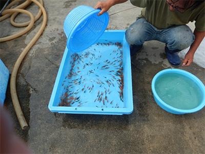 ザルに移した金魚をプールに移す様子