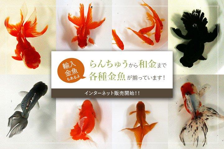 金魚のインターネット販売開始!らんちゅうから和金、輸入金魚まで各種金魚を取り揃えています!!