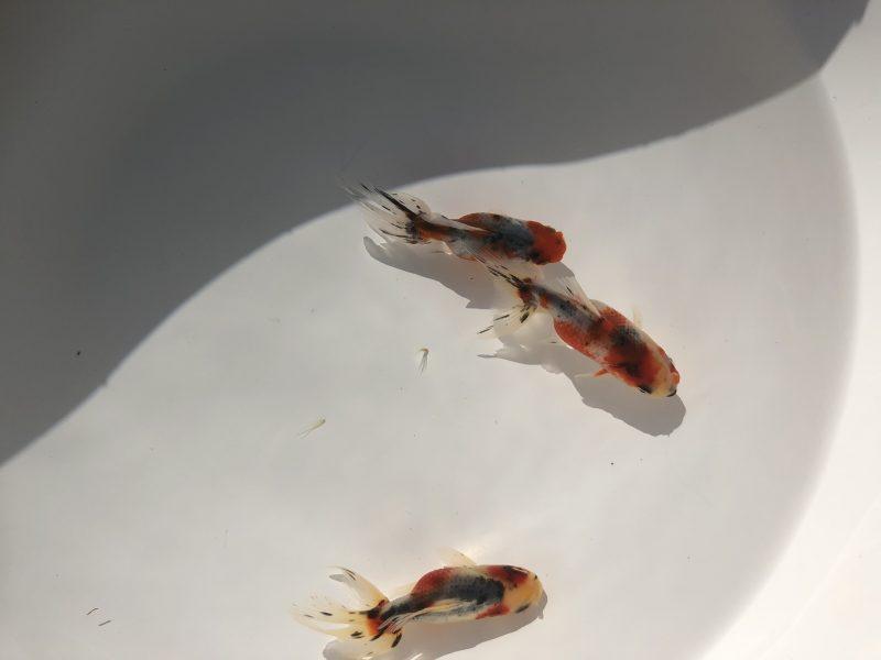 東錦 弥富産 3尾セット