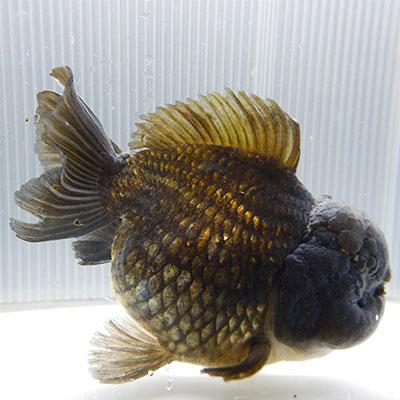 輸入金魚系